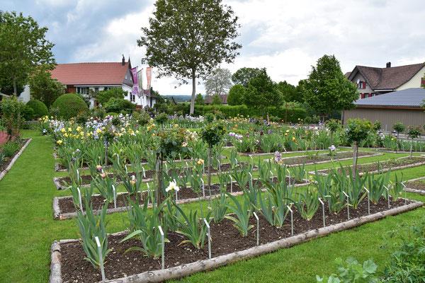 07.06.2021 Blüh-Höhepunkt der Bartiris / Peak bloom of the tall bearded iris in Oetlishausen