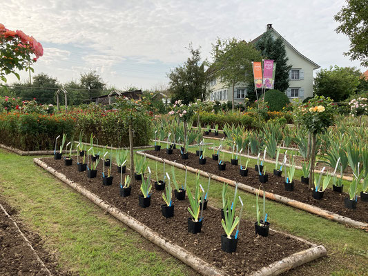 22.09.2020 - Pflanzung neue bartiris - planting new tall bearded iris