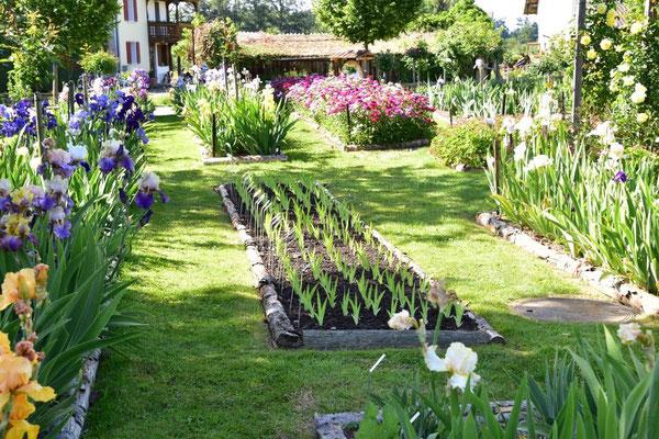 02.06.2020 - Bartiris Sämlingsbeet - Tall bearded iris seedling bed