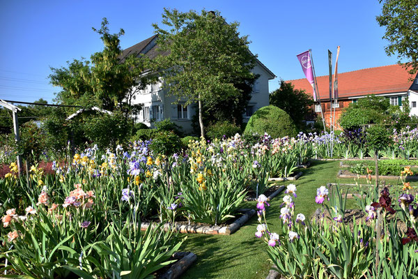 11.06.2021 Blüh-Höhepunkt der Bartiris / Peak bloom of the tall bearded iris in Oetlishausen