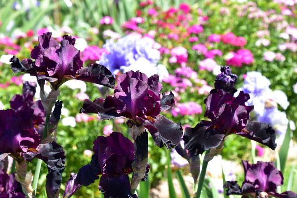 27.05.2020 - Hohe Bartiris / Tall bearded iris 'Baciamisubito'
