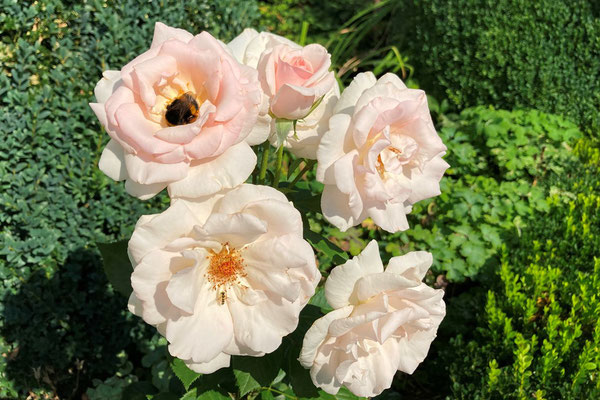 12.08.2020 - Rose 'A Whiter Shade of Pale'