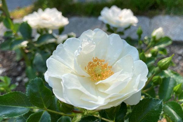 12.08.2020 - Rose 'Innocencia'