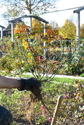 02.11.2020 - Umpflanzung veredelte Rosen - lifting grafted roses