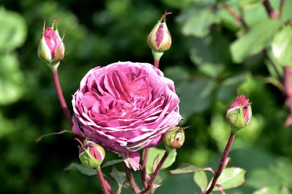 23.07.2021 Rose 'Smoky Plum'