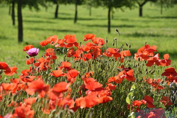 17.06.2021 Klatschmohn / Field poppies