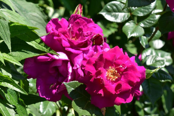 23.06.2020 - Rose aus eigener Zucht