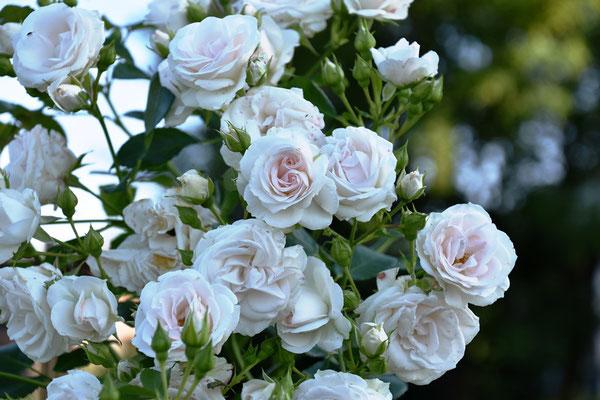 10.07.2021 Rose 'Aspirin'