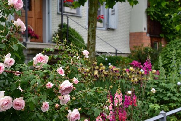09.06.2020 - Rose 'Bremer Stadtmusikanten'