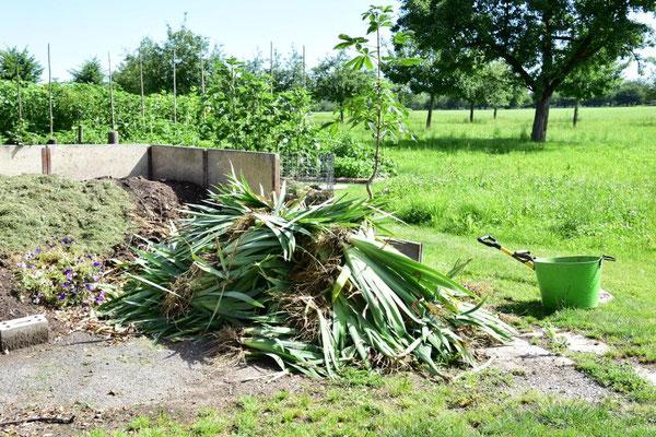 01.07.2020 - Iris Samlinge Ausschuss / culled iris seedlings