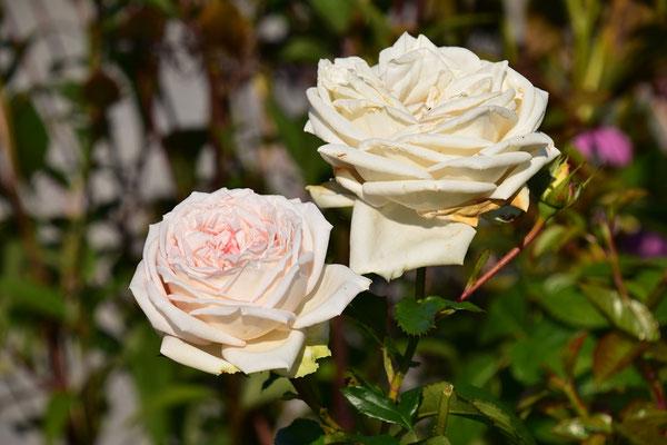 12.09.2020 - Rose ' Madame Anisette'
