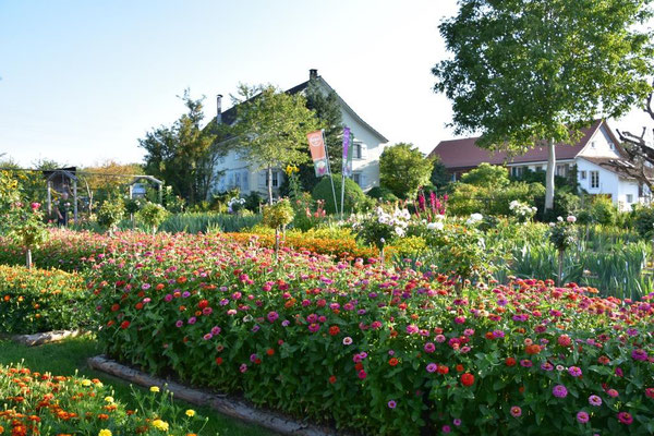 31.07.2020 - Sommerflor / Summer annuals Zinnia
