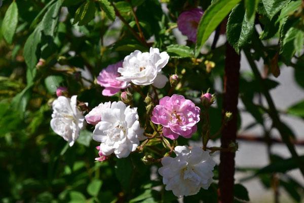 02.06.2020 - Rose 'Guirlande Rose'