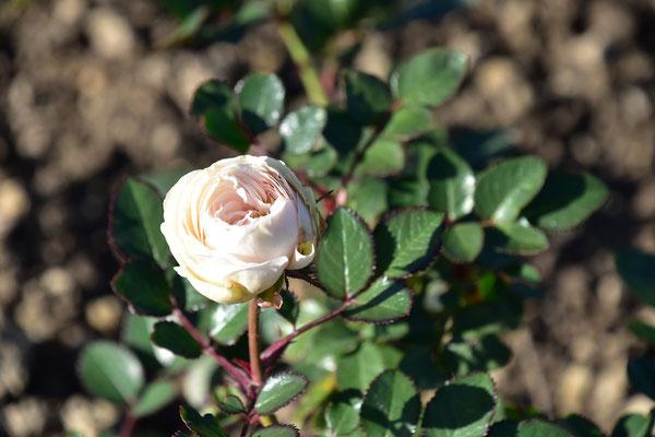 02.11.2020 - eigene Rosen-Sämling / own rose seedling