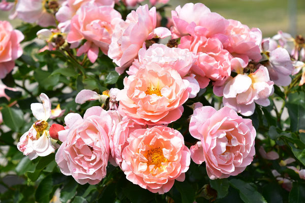 19.08.2020 - Rose 'Marie Curie'