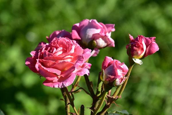 04.09.2020 - eigene Rosen-Sämling / own rose seedling