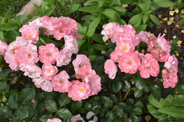 28.06.2021 Rose 'Jacky's Favorite'