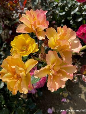 06.07.2021 Eigene Rosensämling / own rose seedling