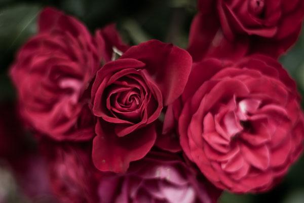Januar 2017 - Nahaufnahme einer Rose