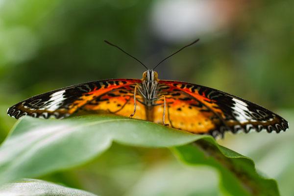 März 2017 - Tropischer Schmetterling