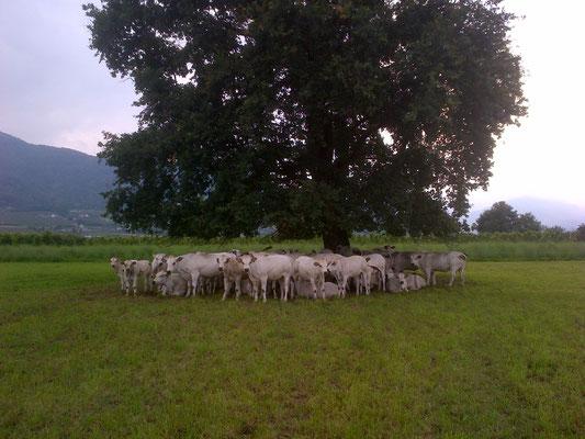 Vacche al pascolo in primavera