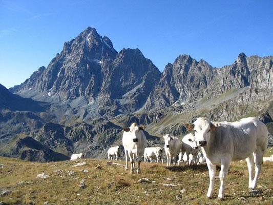 Pascolo in Alta Valle Po e Monviso