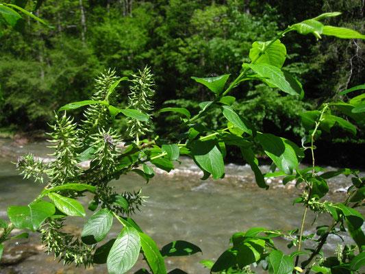 Großblatt-Weide (Salix appendiculata)   weibliche Pflanze