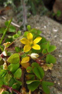 Aufrecht-Sauerklee (Oxalis stricta)