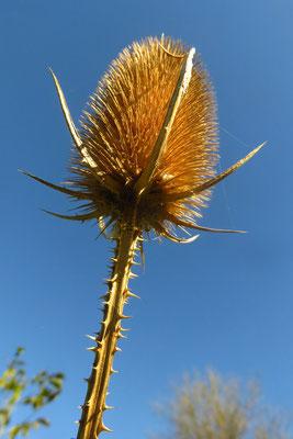 Wilde Karde (Dipsacus fullonum)