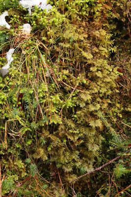 Großes Kranzmoos (Rhytidiadelphus triquetrus) und Etagenmoos (Hylocomium splendes)
