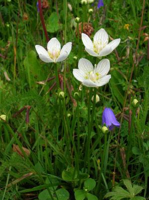 Herzblatt (Parnassia palustris) | Fam. Herzblattgewächse (Parnassiaceae)