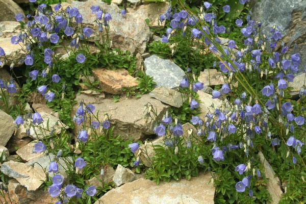 Zwerg-Glockenblume (Campanula cochleariifolia) | Fam. Glockenblumengewächse (Campanulaceae)
