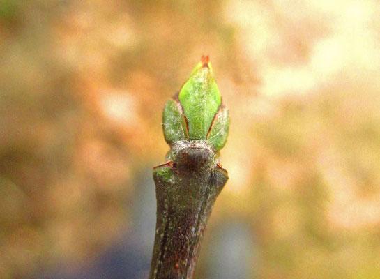 Gewöhnliches Pfaffenkäppchen (Euonymus europaeus)   Knospe
