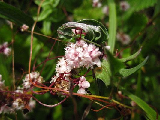 Quendel-Teufelszwirn (Cuscuta epithymum)