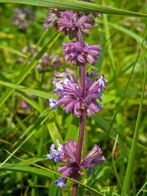 Quirl-Salbei (Salvia verticillata)