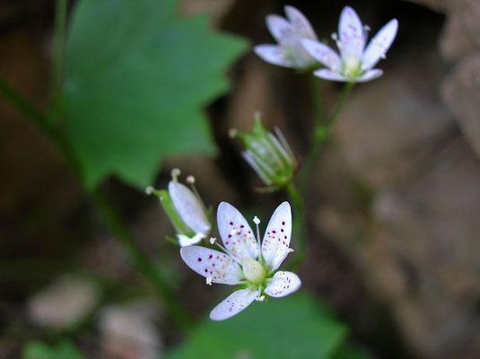 Rundblatt-Steinbrech (Saxifraga rotundifolia)