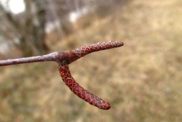 Hänge-Birke (Betula pendula) | männliche Kätzchen vor dem Aufblühen