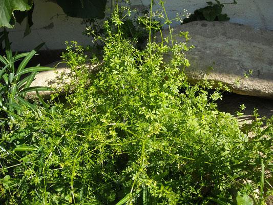Wiesen-Labkraut (Galium mollugo)