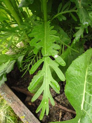 Kren (Armoracia rusticana) | unteres Stängelblatt