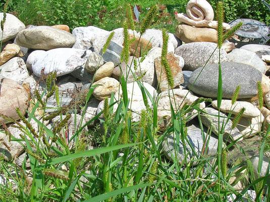 Fuchsrote Borstenhirse (Setaria pumila)