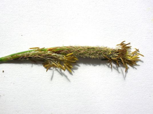 Rauhaar-Segge (Carex hirta)