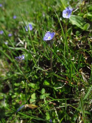 Blattloser Ehrenpreis (Veronica aphylla)