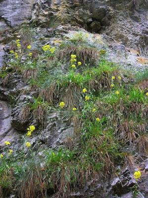 Felsen-Goldlack (Erysimum sylvestre)