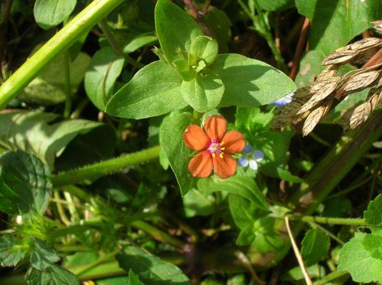 Acker-Gauchheil (Anagallis arvensis)