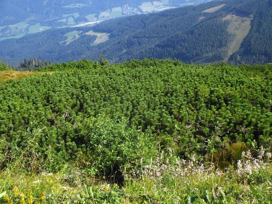 Leg-Föhre (Pinus mugo)