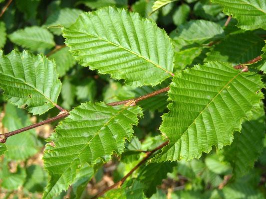 Edel-Hainbuche (Carpinus betulus)