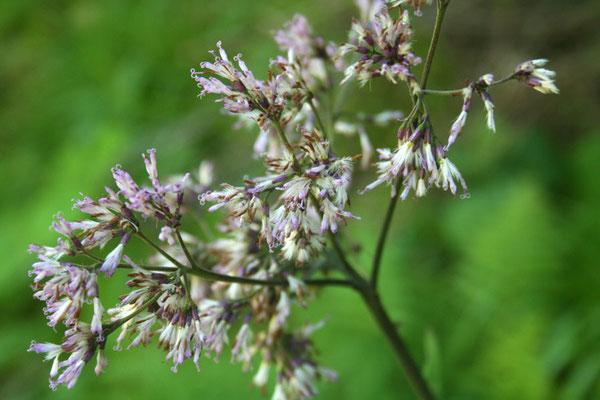 Grau-Alpendost (Adenostyles alliariae)