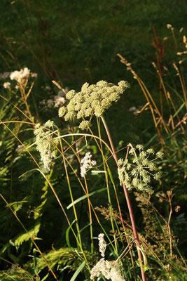Wilde Engelwurz (Angelica sylvestris | Fam. Doldenblütler