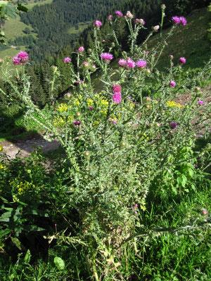 Weg-Ringdistel (Carduus acanthoides)