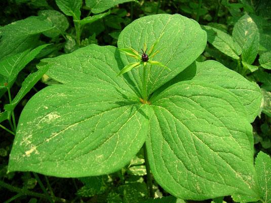 Vierblatt-Einbeere (Paris quadrifolia)